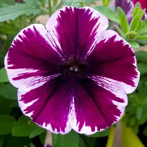 Petunia Miss Marvellous