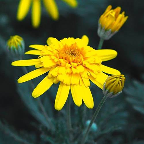 African Bush Daisy Euryops Sunshine Silver Double Yellow
