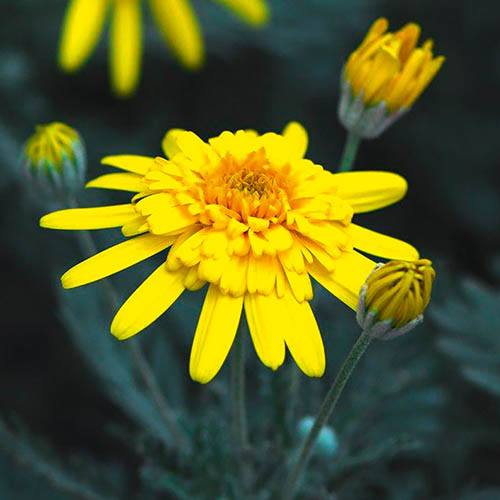 Euryops Sunshine Silver Double Yellow