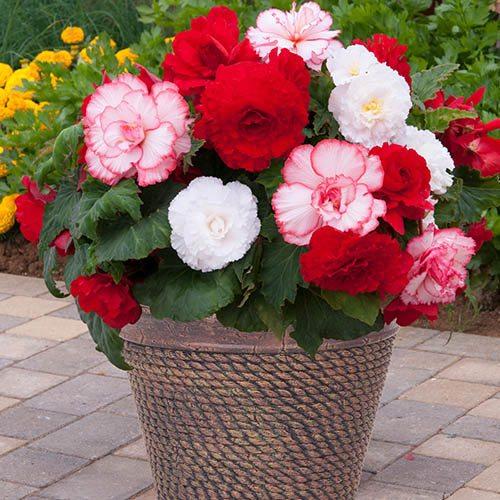 Begonia 'Majestic Romance' Mix