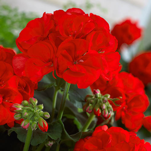 Large Red Zonal Geranium Collection