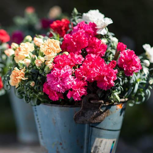 Fragrant Pot Carnation Adorables Collection