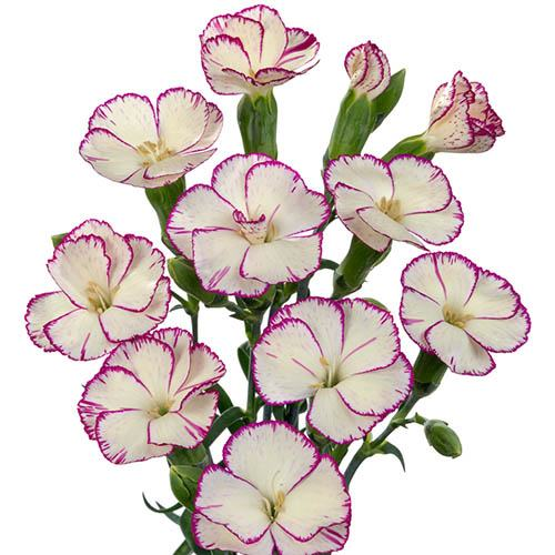 Cut Flower Spray Carnation Solomio Collection