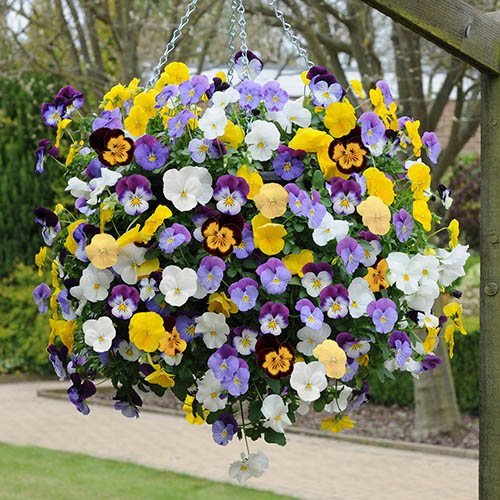 Trailing Hardy Pansy Cool Wave Mix - 20 Garden Ready Plants