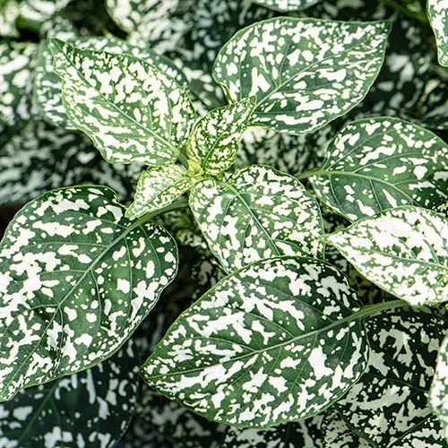 Polka Dot Plant Hypoestes Hippo (R) Collection