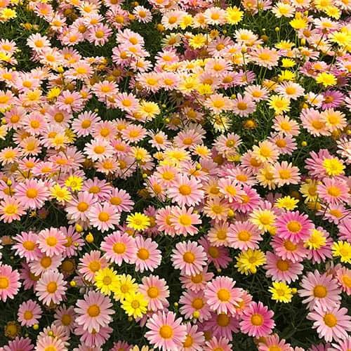 Marguerite Argyranthemum Lemon and Pink