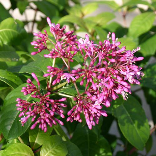 Tree Fuchsia arborescens