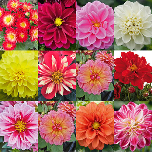 Delicious Dahlias Lubega (R) Series x 12