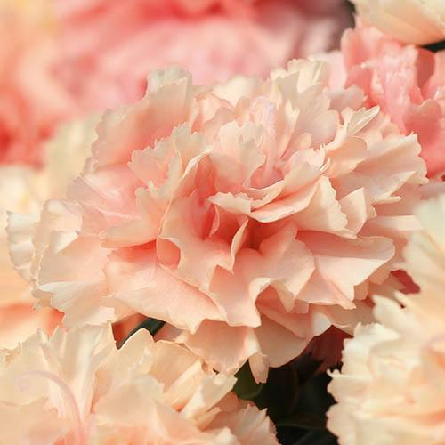 Garden Pinks Dianthus Sunnybees Collection