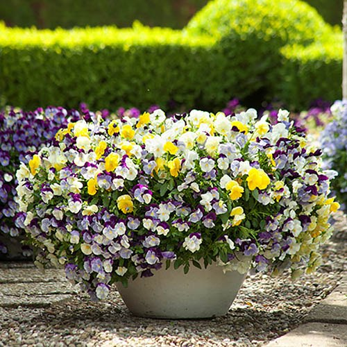 Trailing Hardy Pansy Cool Wave Mix