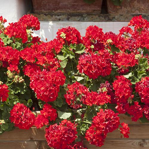 Geranium Ultimate Red