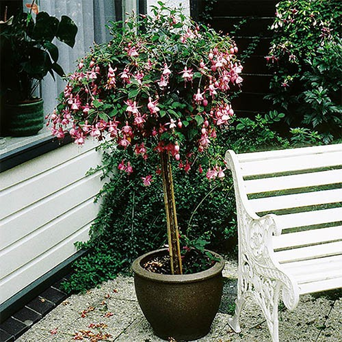Flowering Standard Fuchsia Tree