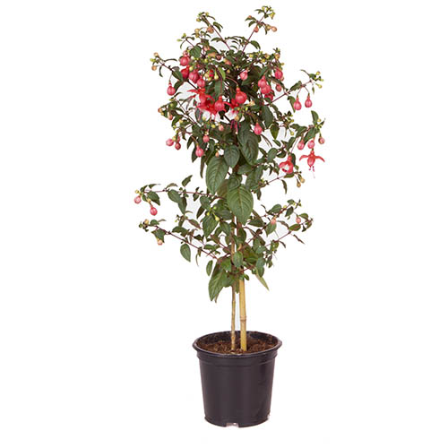 Flowering Fuchsia Tree