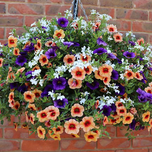 'Ayer's Rock Mix' Pre-Planted Basket