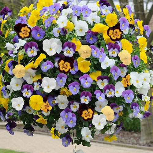 Pair Pansy Cool Wave 28cm (11in) Hanging Baskets