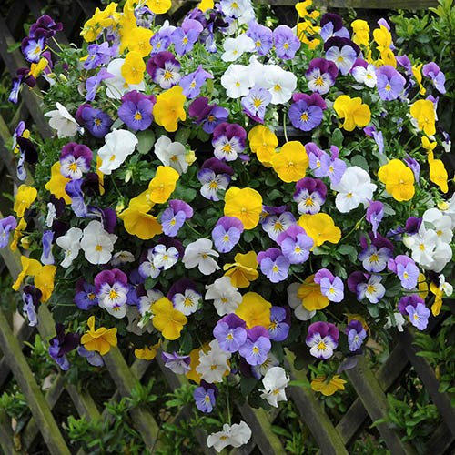 Pair Pansy Cool Wave28cm (11in)Hanging Baskets