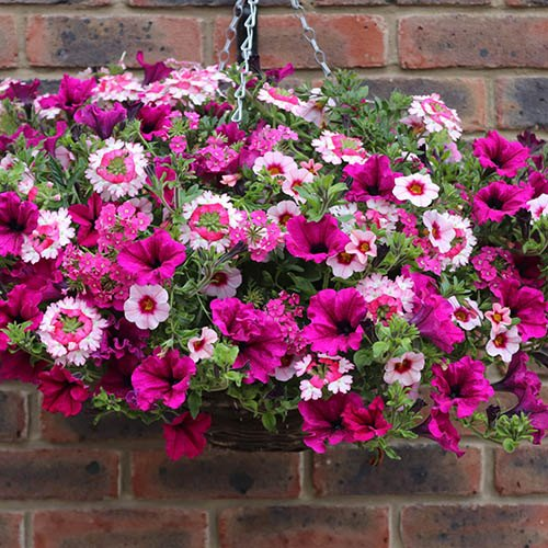 Pair Pre-planted 27cm Hanging Basket Eton Mess