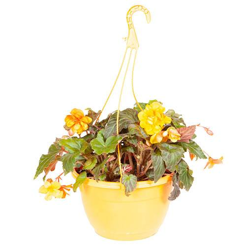 Pre-planted 27cm Hanging Basket Begonia Apricot Shades