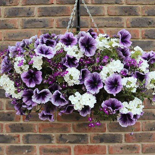 Pre-planted 27cm Hanging Basket Parma Violet