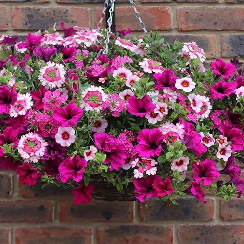 Pre-planted 27cm Hanging Basket Eton Mess
