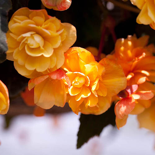 Pair of Begonia Apricot Shades Preplanted Baskets