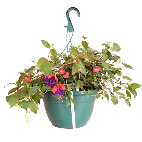 Pre-planted Basket (Green) Jumbo Fuchsia Mixed
