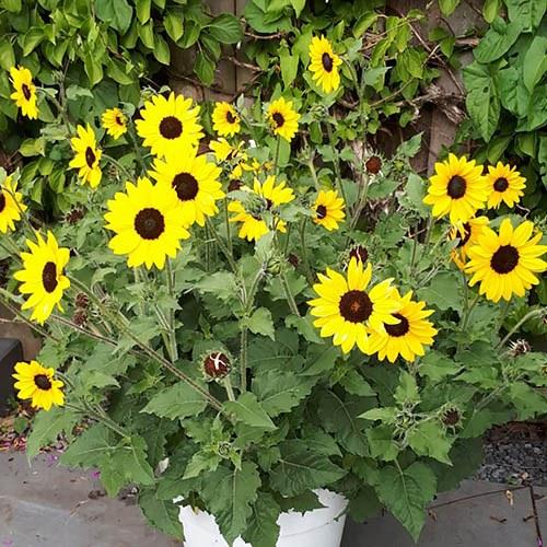Sunflower Helianthus Sunblast