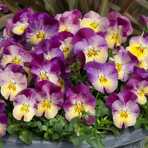 Pansy Cool Wave Raspberry Swirl Mix in a 27cm (11in) Purple Hanging  Basket
