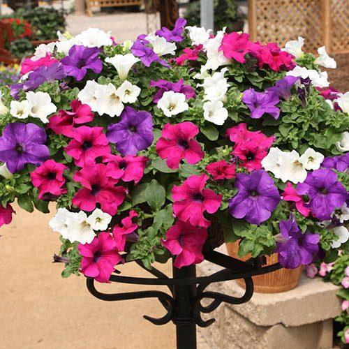 Petunia Surfinia Pre-Planted Basket
