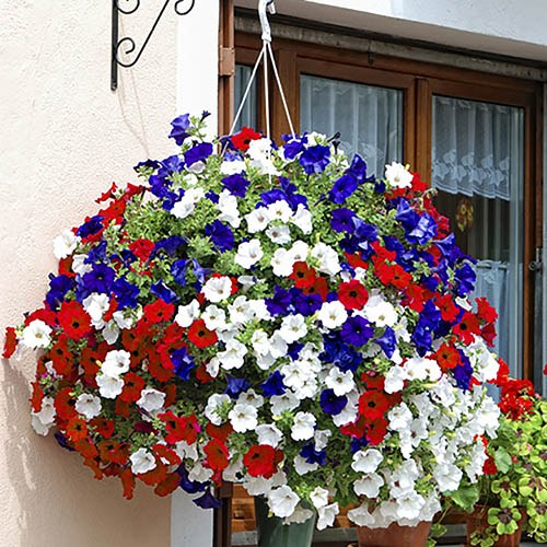 Preplanted Calibrachoa Union Jack Basket Pair
