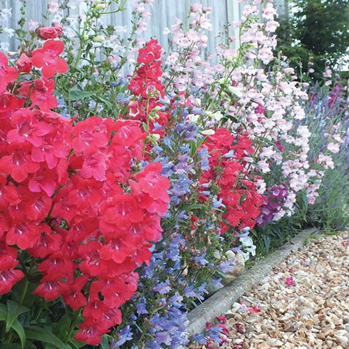 Hardy Penstemon Colletion