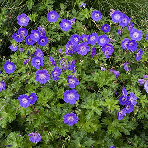 Hardy Geranium Rozanne - RHS Plant of the Centenary