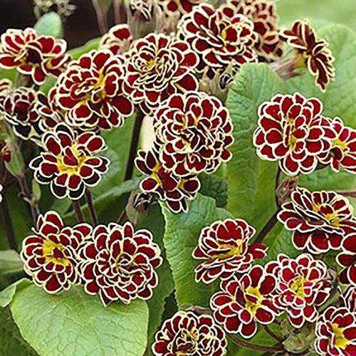 Hardy Primula Elizabeth Killelay