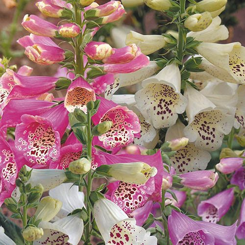 Foxglove Digitalis Camelot Mixed