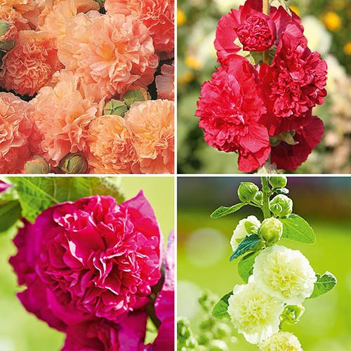 Hollyhock Chaters Double Mix -