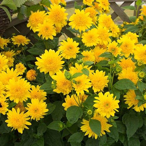 Hardy Sunflower Helianthus Double Whammy