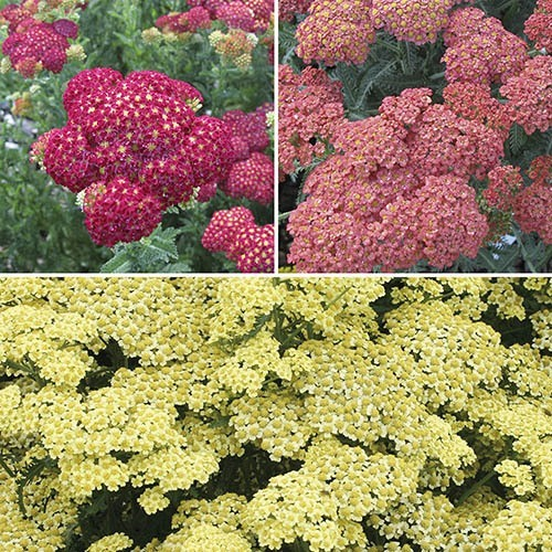 Achillea Summer Fruits collection