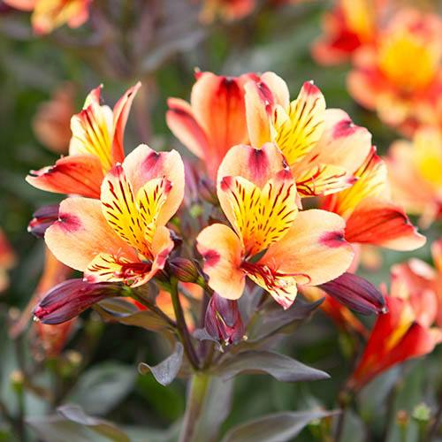 Hardy Alstroemeria Indian Summer