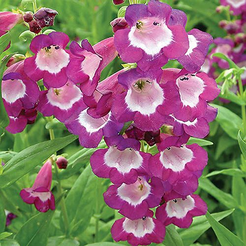 Summer Colour Hardy Penstemons x 12 plugs