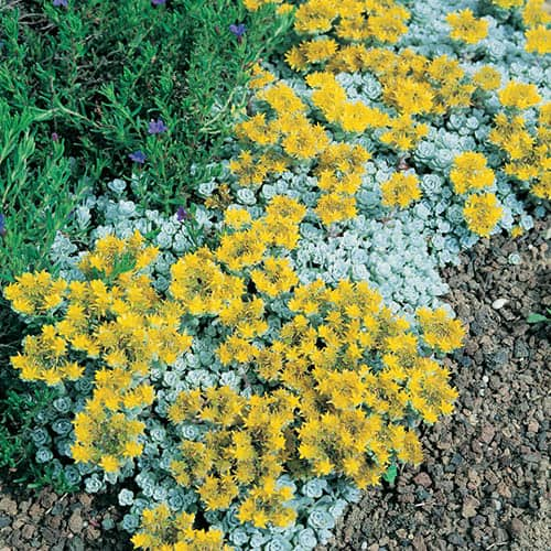 Hardy Flowering Alpine Plant Collection includes 12 Plugs of 6 Varieties