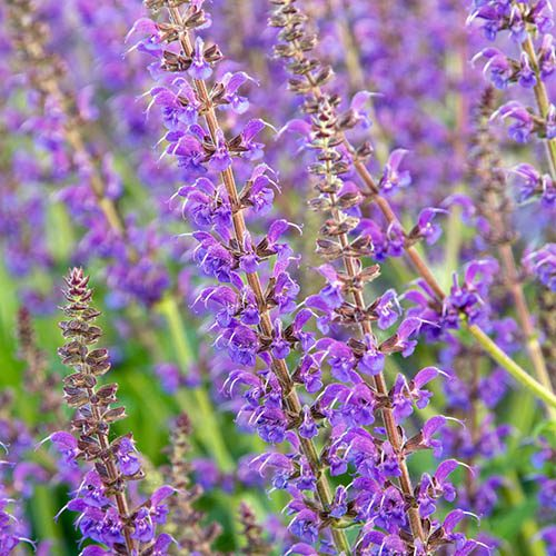 Hardy Purple Salvia x 6 plugs