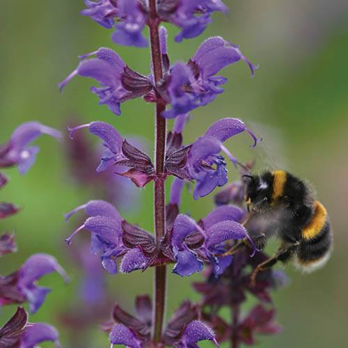 Hardy Purple Salvia x 6 plugs