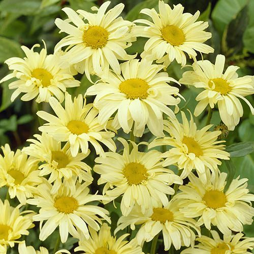 Pack of 6 Leucanthemum Banana Cream Plug Plants