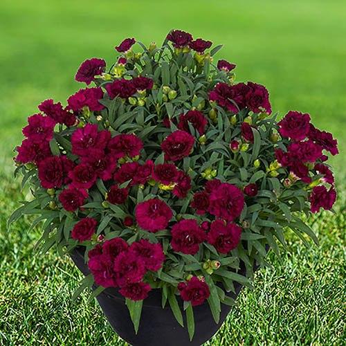 Dianthus Sunflor Collection