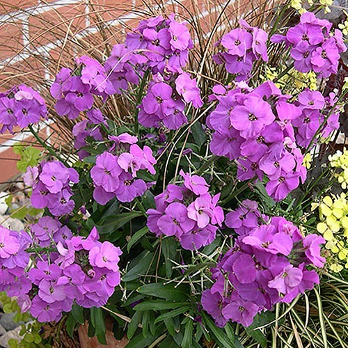 Perennial Wallflower Collection
