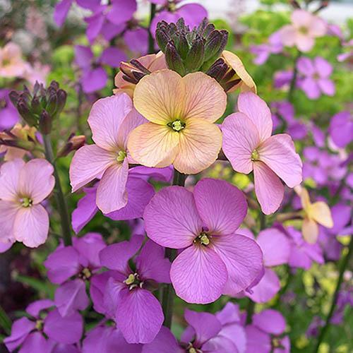 Perennial Wallflower Collection