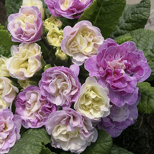 Double Flowered Primrose Belarina
