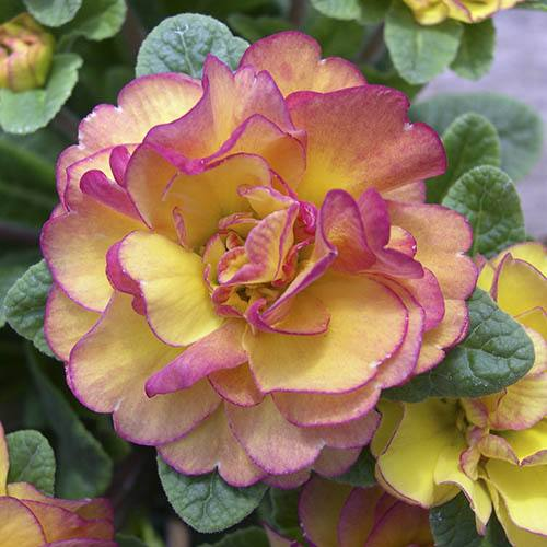 Double Flowered Primrose Belarina