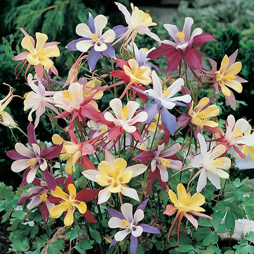 Aquilegia Mrs Scott Elliotts Mix