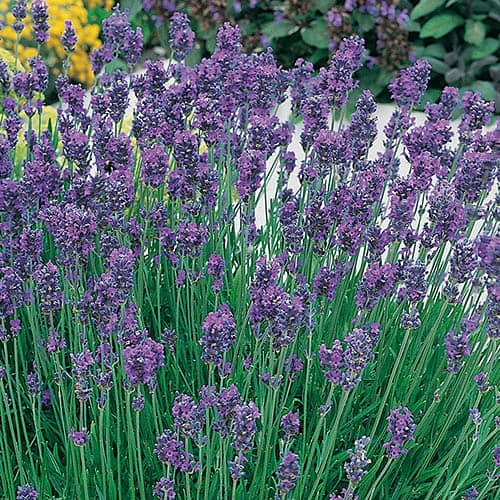 Fragrant Lavender Collection